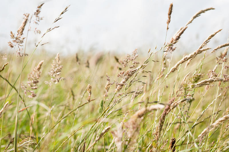 Wilde Gräser, die in der Brise in einer Landschafts-Wiese durchbrennen lizenzfreie stockbilder