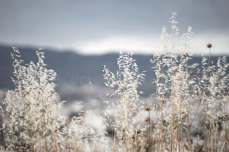 Wilde Grassen die in Wind in Laag Licht slingeren royalty-vrije stock foto's