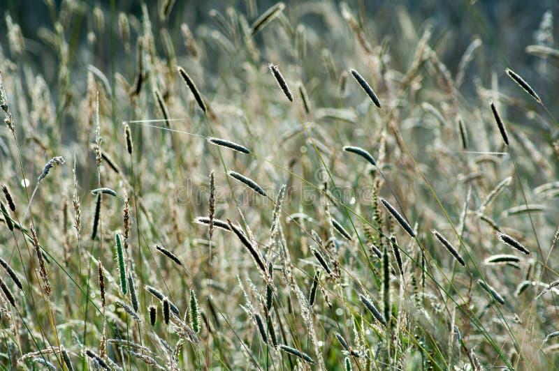 Wilde grassen in het licht van de de zomerzon royalty-vrije stock afbeeldingen