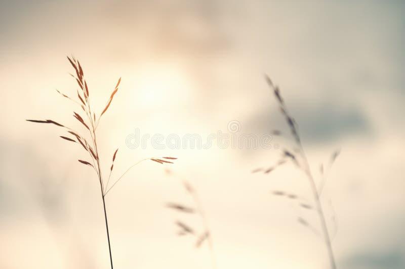 Wilde grassen op een gebied bij zonsondergang stock foto's