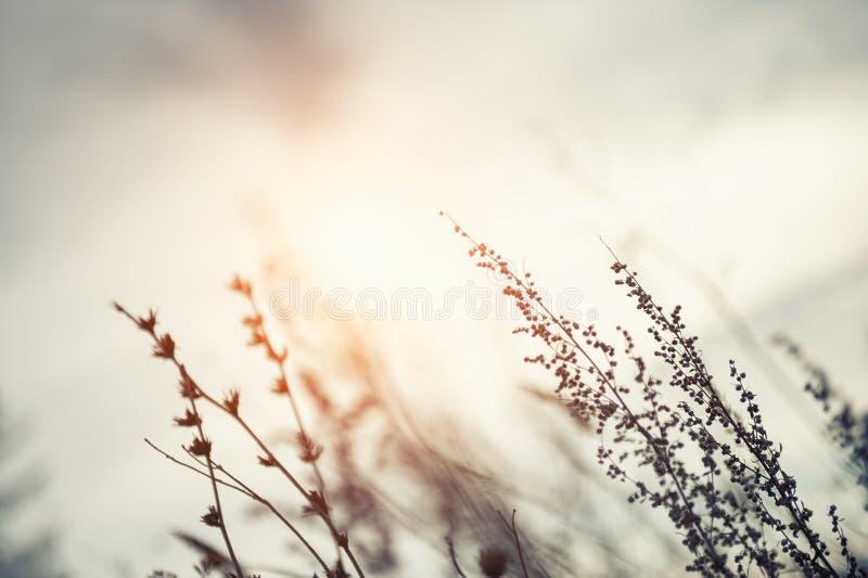 Wilde grassen op een gebied bij zonsondergang royalty-vrije stock afbeelding