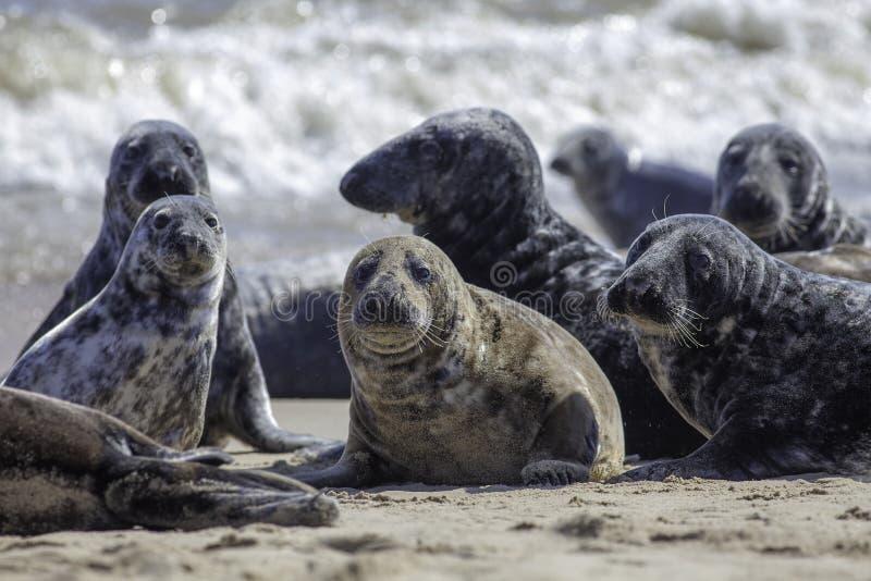 Wilde Grijze verbindingskolonie op het strand in Horsey het UK stock fotografie