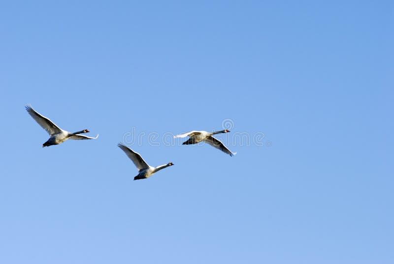 Wilde groep zwanen stock afbeeldingen