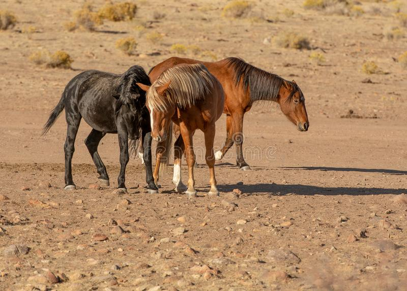 Wilde Hengstmustangs in der Wüste lizenzfreie stockbilder