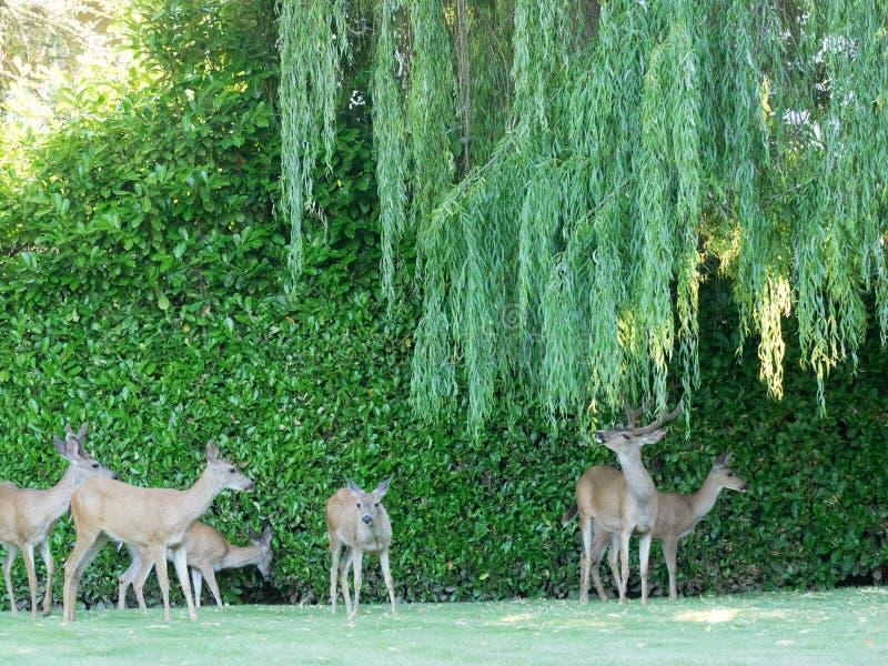 Wilde herten onder achtertuinwilg royalty-vrije stock foto