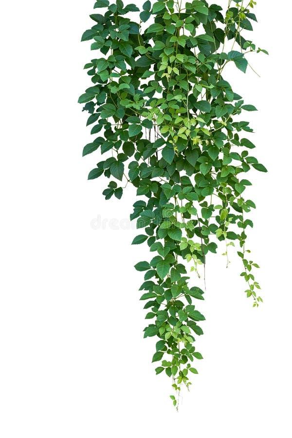 Wilde het beklimmen wijnstok, Cayratia-trifolia & x28; Linn & x29; Domin geïsoleerde stock foto's