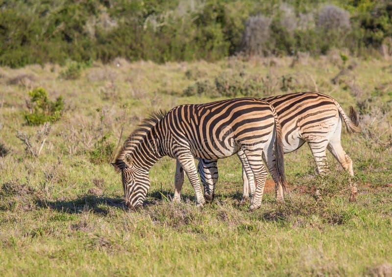 Wilde het leven Vlaktes Zebras in Addo Elephant Park in Zuid-Afrika royalty-vrije stock foto's