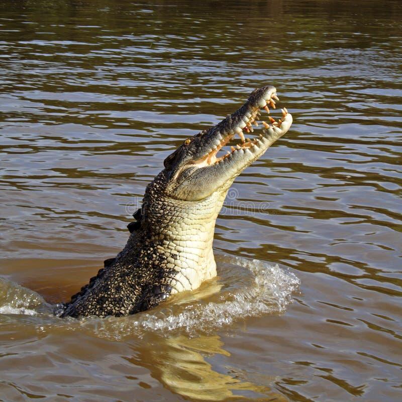 Wilde het springen zoutwaterkrokodil, Australië stock foto's