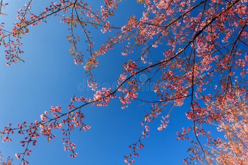 Wilde Himalajakirschblume (Thailands Kirschblüte oder Prunus cerasoides) an Berg Phu Lom Lo, Loei, Thailand lizenzfreies stockbild