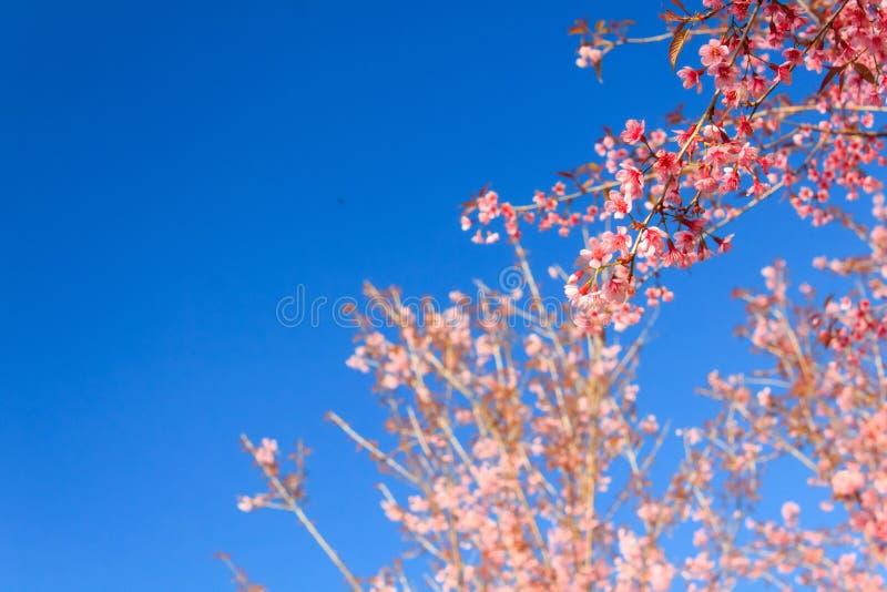 Wilde Himalajakirschblume (Thailands Kirschblüte oder Prunus cerasoides) an Berg Phu Lom Lo, Loei, Thailand stockfoto