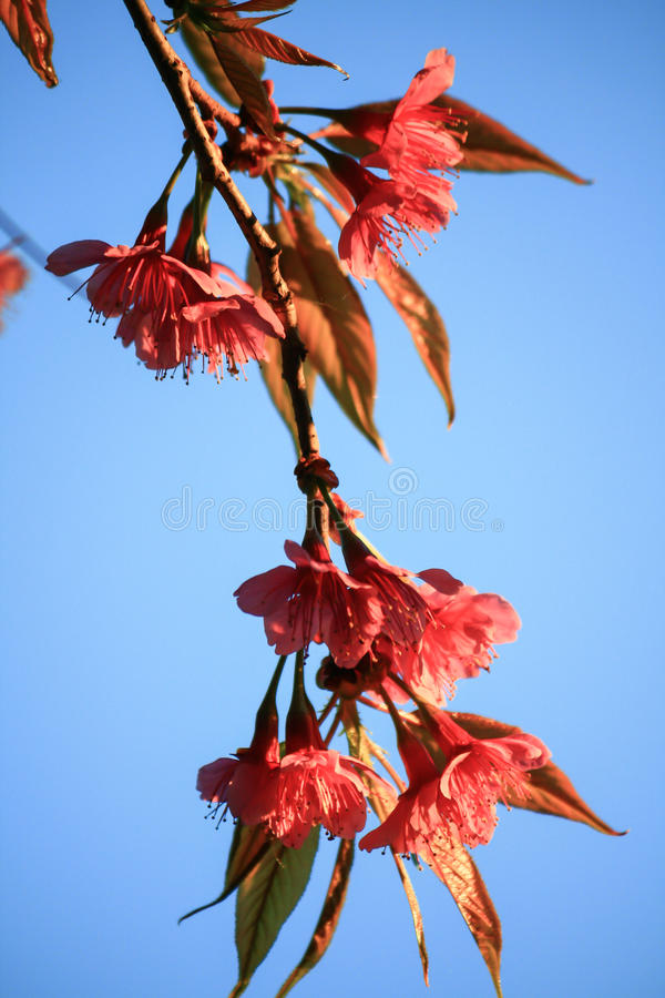 Wilde Himalajakirsche (Prunus cerasoides) lizenzfreie stockfotos
