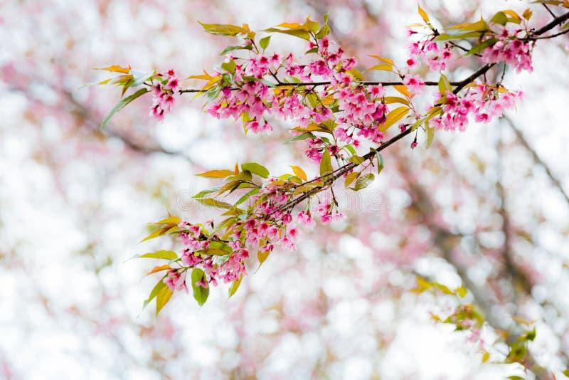 Wilde Himalajakirsche (Prunus cerasoides) (Kirschblüte in Thailand lizenzfreies stockfoto