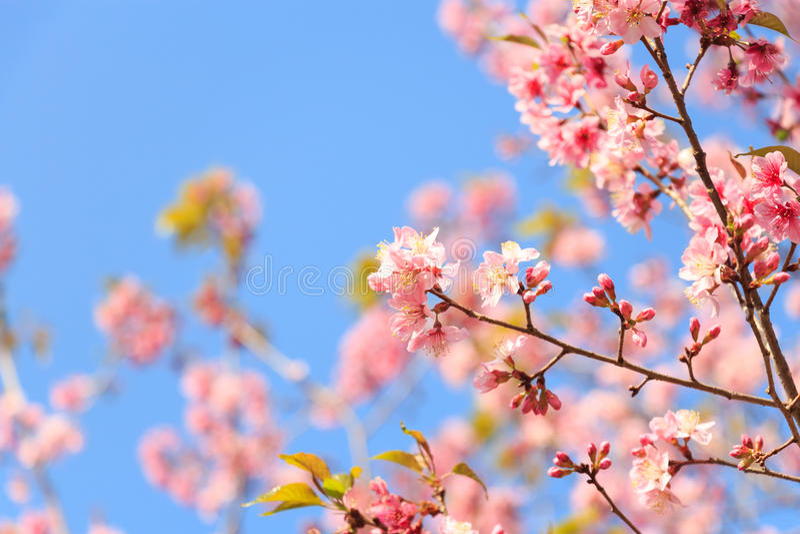 Wilde Himalajakirsche (Prunus cerasoides) (Kirschblüte in Thailand) an Berg Phu Lom Lo, Loei, Thailand (leerer Bereich am links stockfotos