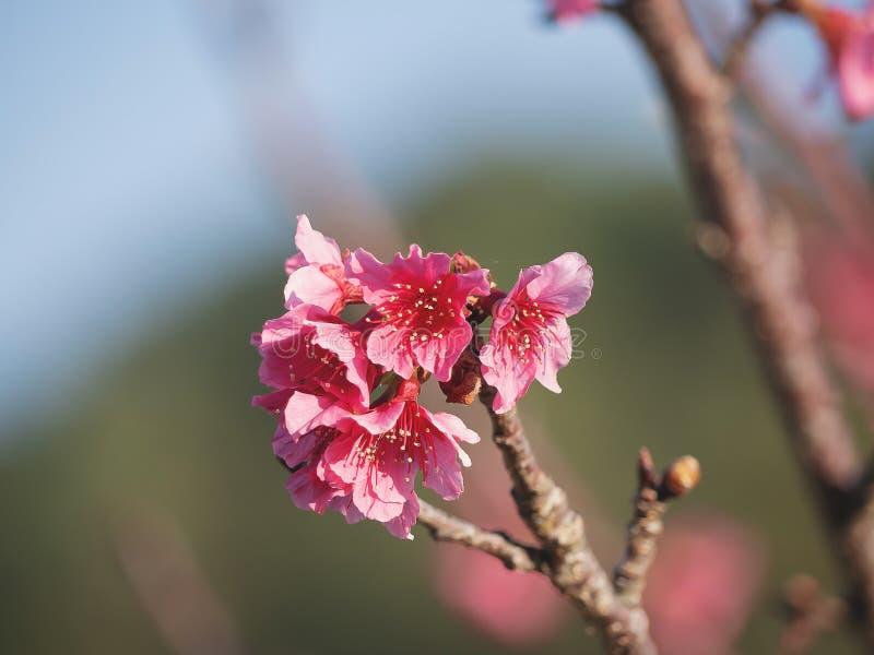 Wilde Himalaya Cherry flower Prunus cerasoides, closeup of Wild Himalayan Cherry Prunus cerasoides royalty-vrije stock afbeelding