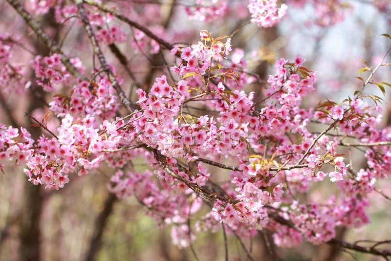 Wilde Himalayan Cherry Blossoms in lentetijd Prunus cerasoides royalty-vrije stock afbeeldingen