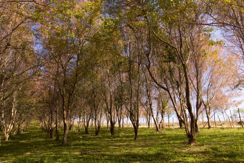 Wilde Himalayan-Kersenbloem (sakura of Prunus van Thailand cerasoides) bij de berg van Phu Lom Lo, Loei, Thailand stock foto