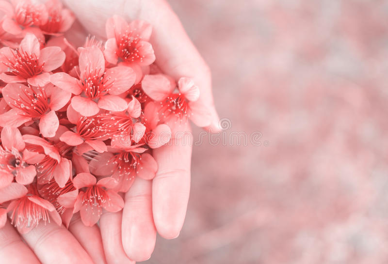 Wilde Himalayan-Kersenbloemen op vrouwenhanden royalty-vrije stock fotografie