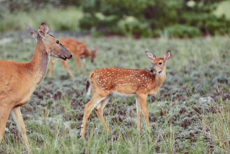 Wilde Hirsche im Freien, die Gras fressen, furchtlos schön und süß lizenzfreies stockbild