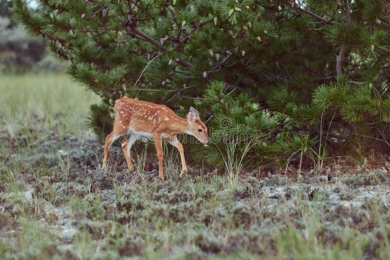 Wilde Hirsche im Freien, die Gras fressen, furchtlos schön und süß lizenzfreie stockfotografie