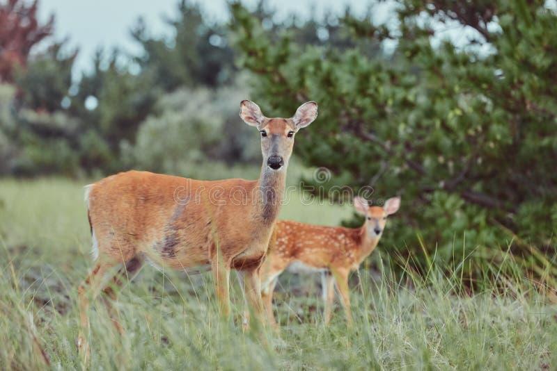 Wilde Hirsche im Freien, die Gras fressen, furchtlos schön und süß lizenzfreie stockfotos