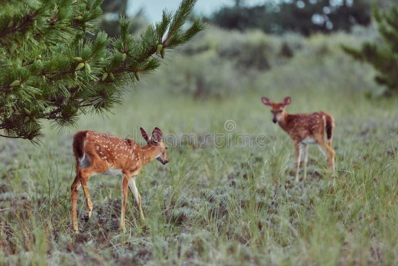 Wilde Hirsche im Freien, die Gras fressen, furchtlos schön und süß stockfotografie