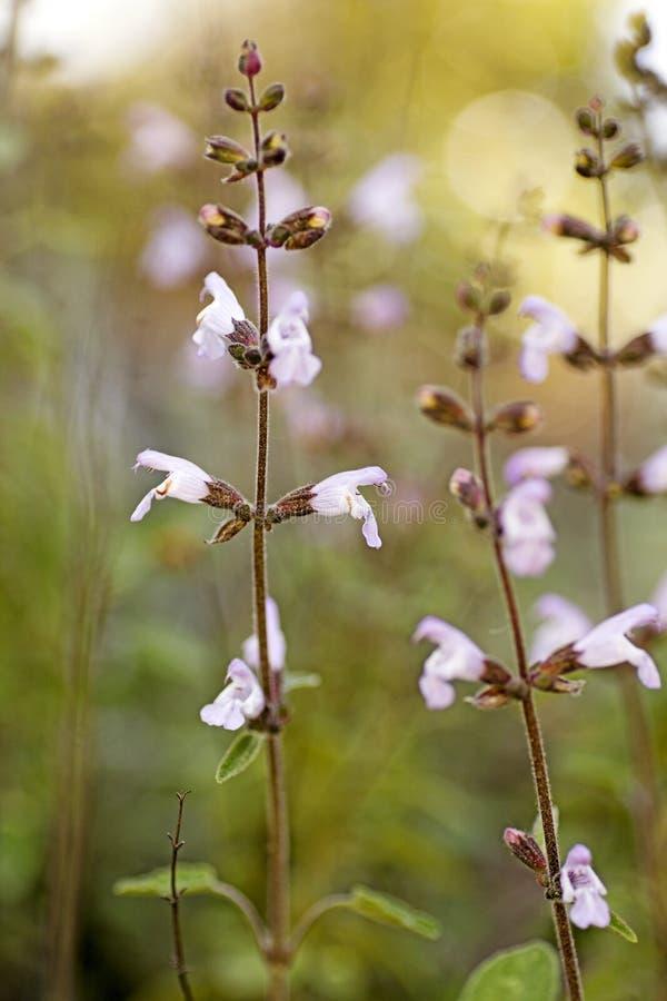 Wilde hoge de bloemen macroachtergrond van Salviaofficinalis - kwaliteit 50,6 Megapixels royalty-vrije stock foto