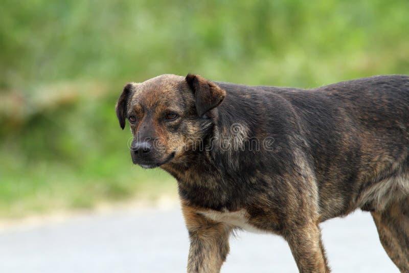 Wilde hond op de straat stock afbeelding