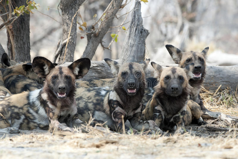 Wilde honden stock afbeeldingen