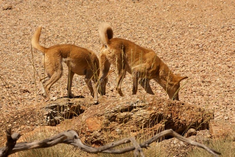 wilde hondendingo, Australië stock foto's