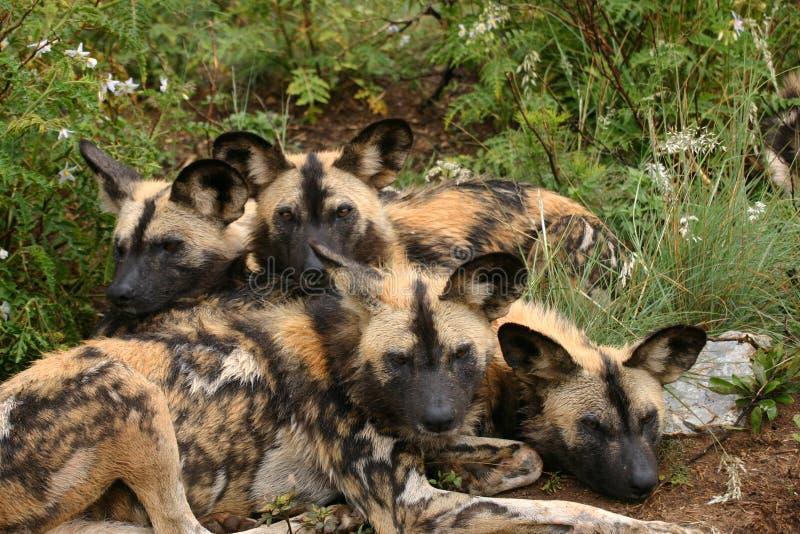 Wilde hondfamilie stock fotografie