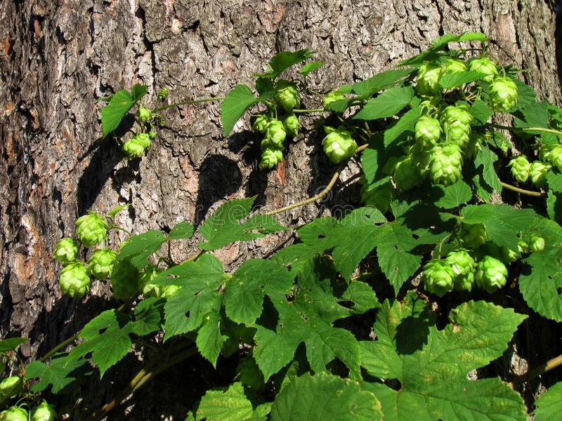 Wilde Hopfen baumeln nach Baumstämmen, Humulus lupulus stockfotos