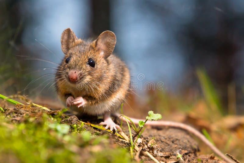 Wilde houten muis royalty-vrije stock foto's