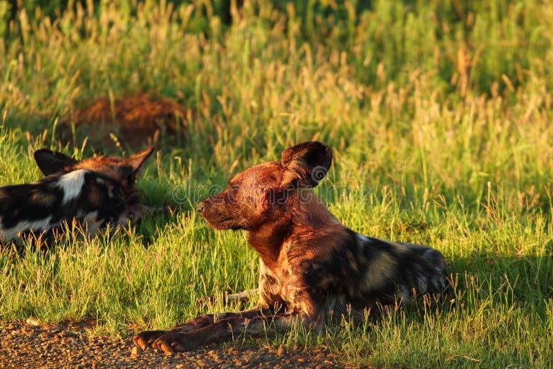 Wilde Hunde Stockbild