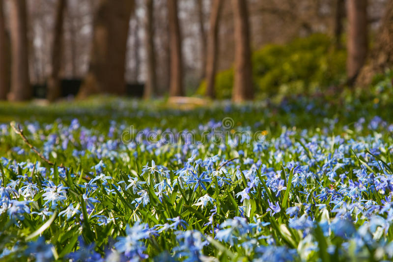 Wilde hyacinten in bos stock afbeelding