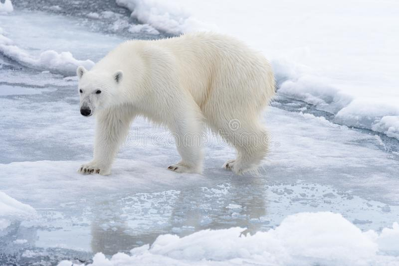 Wilde ijsbeer die in water op pakijs gaan royalty-vrije stock afbeelding