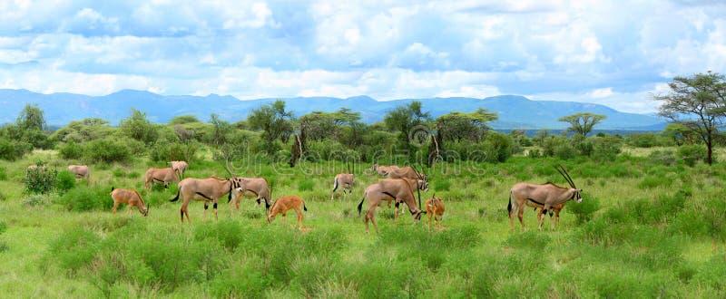 Wilde impala stock afbeeldingen
