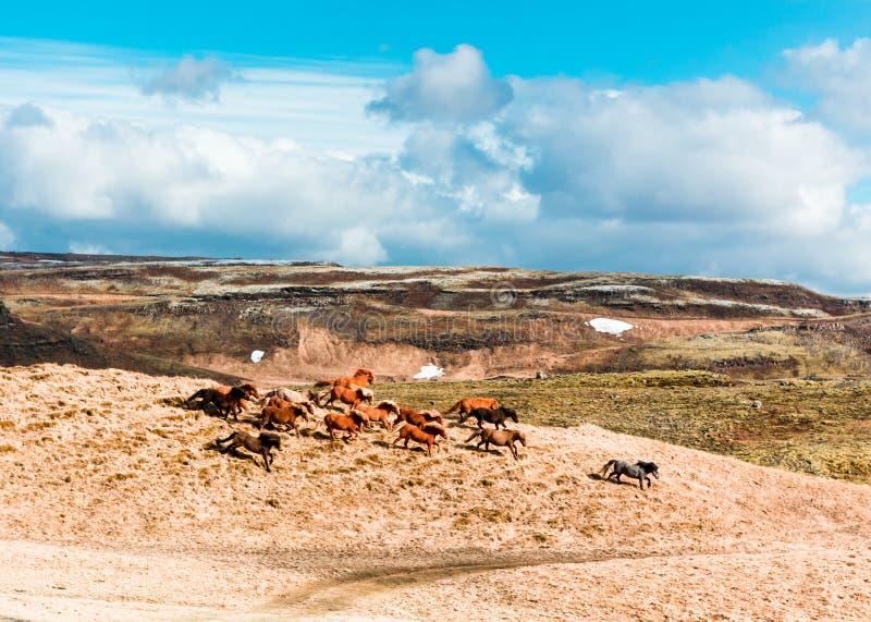 Wilde isländische Pferde, die hinunter den Hügel in den Bergen laufen stockfotografie