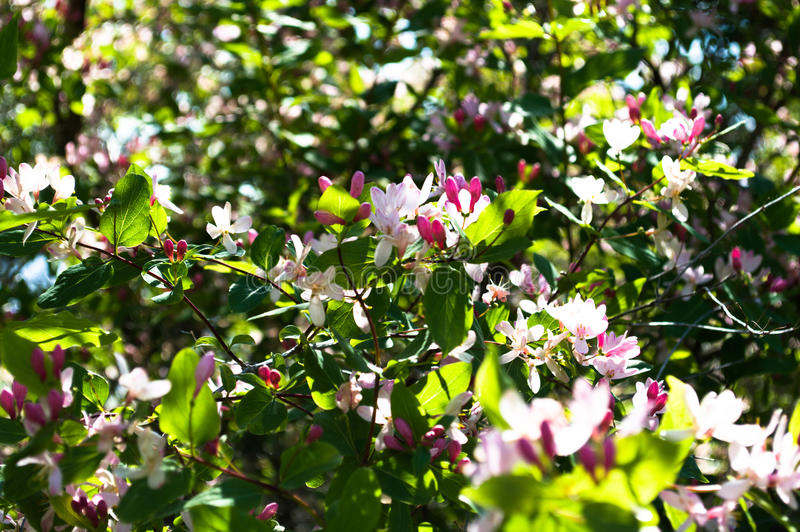 Wilde jasmijnboom stock afbeeldingen