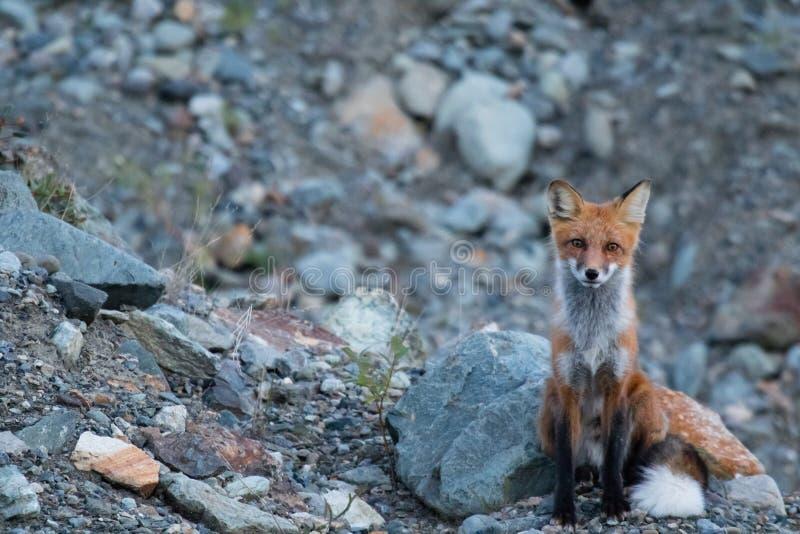 Wilde jonge rode vos in het natuurlijke plaatsen bij de Gebieden van het schemernoordwesten stock afbeelding