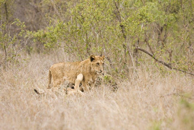 Wilde junge spielende Löwen, Nationalpark Kruger, SÜDAFRIKA stockfotos