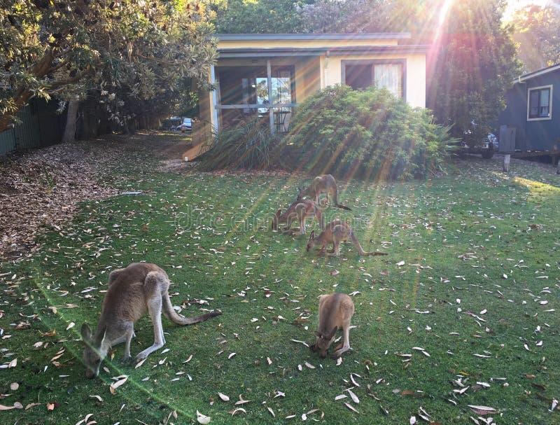 Wilde Kängurus, die frisches grünes Gras vor menschlichem Haus nahe Sonnenuntergang einziehen lizenzfreie stockbilder