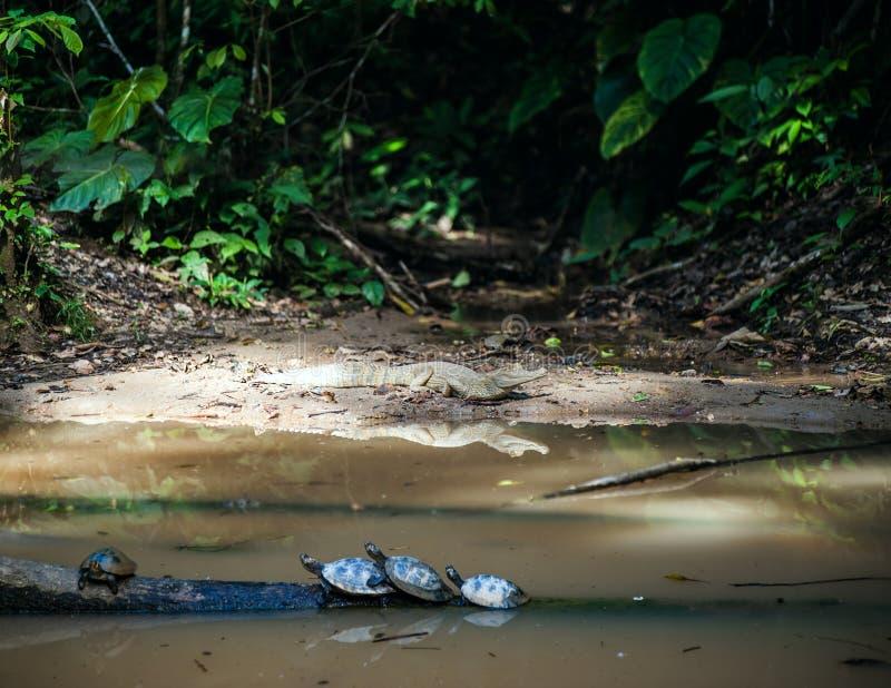 Wilde kaaiman en schildpadden in Ecuatoriaans Amazonië, Misahualli stock foto's