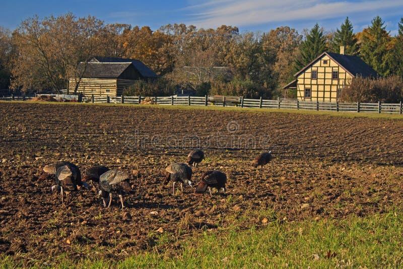 Wilde Kalkoenen Die Op Het Gebied Van Een Landbouwer Voederen Stock Afbeelding