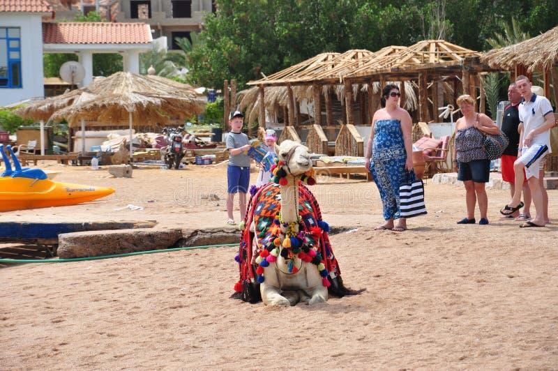 Wilde kameel in de stad royalty-vrije stock afbeelding