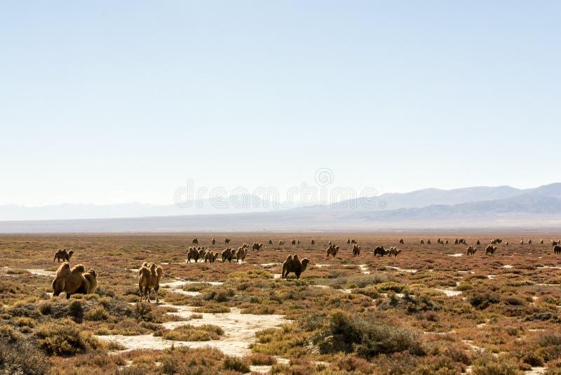 Wilde kamelen in Qinghai China stock afbeeldingen
