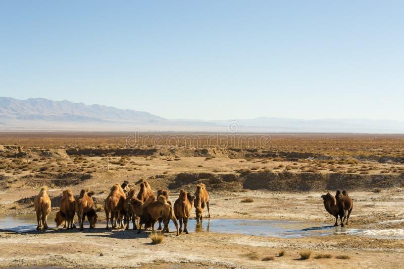 Wilde kamelen in Qinghai China stock afbeelding