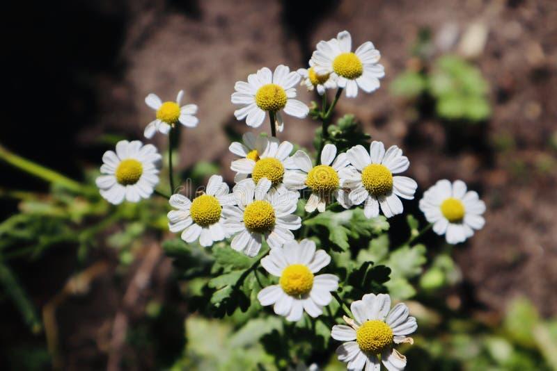 Wilde Kamille, die während der Sommerzeit wächst und blüht lizenzfreie stockfotos