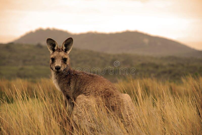 Wilde kangoeroe in binnenland stock afbeeldingen