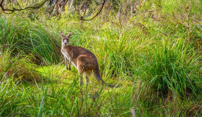 Wilde kangoeroe in het gras stock afbeeldingen