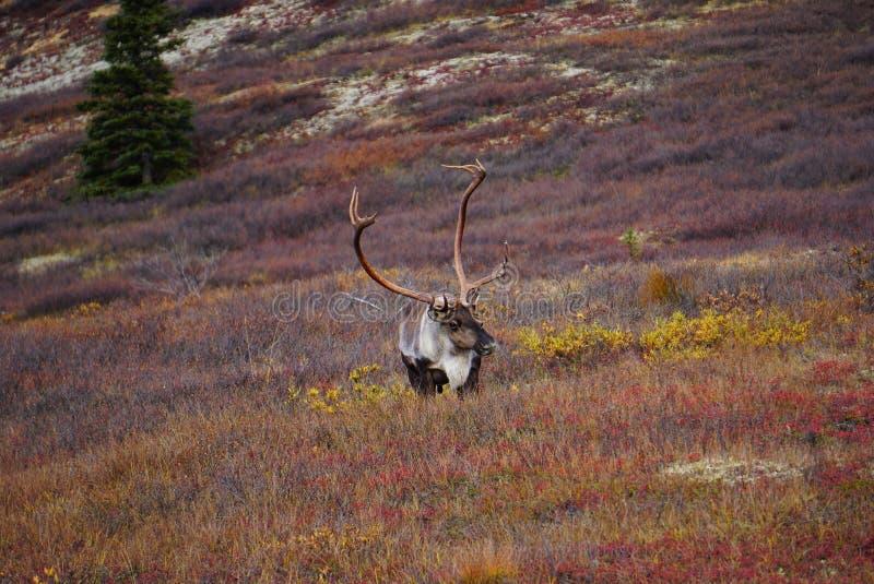Wilde Kariboe in Alaska stock afbeelding